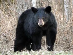 Black bear (image via appalachiantrail.com)